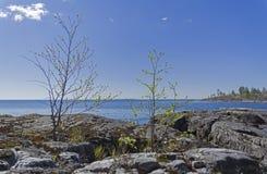 Pequeños árboles de abedul en la orilla del lago ladoga Imagen de archivo