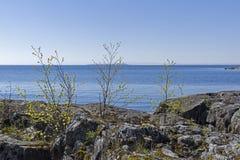 Pequeños árboles de abedul en la orilla del lago ladoga Fotografía de archivo libre de regalías