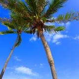 Pequeños árboles de coco Fotos de archivo