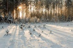 Pequeños árboles de navidad Foto de archivo
