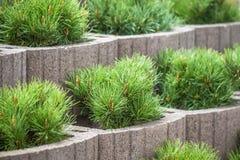 pequeños árboles de navidad que crecen en potes en cama de flor Foto de archivo libre de regalías