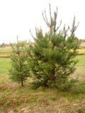 Pequeños árboles de pino Imagenes de archivo