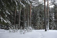 Pequeños árboles de pino Imagen de archivo libre de regalías
