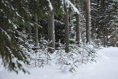 Pequeños árboles de pino Imágenes de archivo libres de regalías