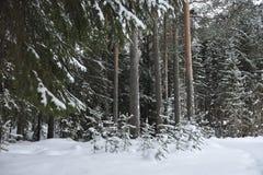 Pequeños árboles de pino Foto de archivo