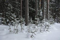 Pequeños árboles de pino Foto de archivo libre de regalías