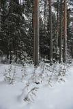 Pequeños árboles de pino Imagen de archivo