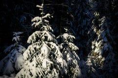 Pequeños árboles spruce jovenes Fotografía de archivo