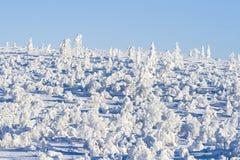Pequeños abedules bajo nieve en sol Fotografía de archivo libre de regalías