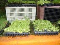 Pequeños almácigos de las cebolletas vegetales para plantar imagen de archivo