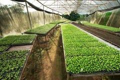 Pequeños almácigos o crecimiento vegetal de ensalada en cultiva del invernadero foto de archivo libre de regalías