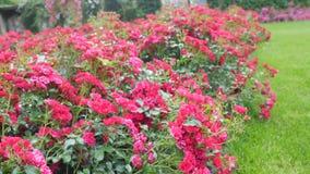 Pequeños arbustos con las rosas rojas Fotos de archivo libres de regalías