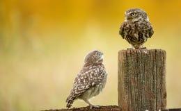 Pequeños búhos salvajes Foto de archivo libre de regalías