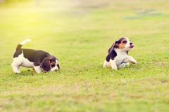 Pequeños beagles Fotos de archivo