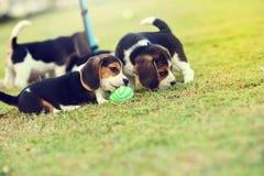 Pequeños beagles Imagen de archivo libre de regalías