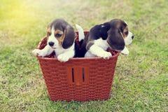 Pequeños beagles lindos Imagenes de archivo