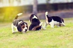 Pequeños beagles lindos Imagen de archivo libre de regalías