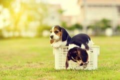 Pequeños beagles lindos Fotos de archivo