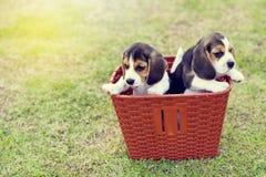 Pequeños beagles lindos Foto de archivo libre de regalías