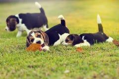 Pequeños beagles lindos Imágenes de archivo libres de regalías