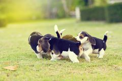 Pequeños beagles lindos Imagen de archivo