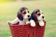 Pequeños beagles lindos Fotografía de archivo libre de regalías