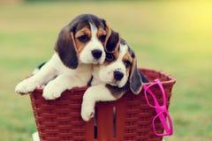 Pequeños beagles lindos Fotografía de archivo