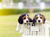 Pequeños beagles lindos Foto de archivo