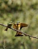 Pequeños Bee-eaters que introducen Foto de archivo