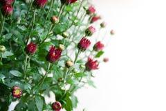 Pequeños brotes rojo oscuro del crisantemo en el fondo blanco en luz suave imagenes de archivo
