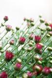 Pequeños brotes rojo oscuro del crisantemo en el fondo blanco en luz suave foto de archivo