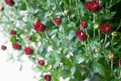 Pequeños brotes rojo oscuro del crisantemo en el fondo blanco en luz suave fotos de archivo libres de regalías