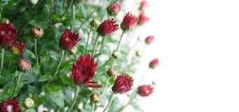 Pequeños brotes rojo oscuro del crisantemo en el fondo blanco en luz suave fotos de archivo