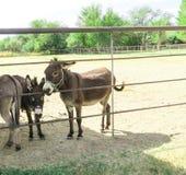 Pequeños burros Fotografía de archivo libre de regalías
