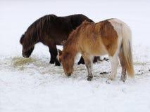 Pequeños caballos Foto de archivo libre de regalías