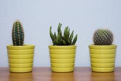 Pequeños cactus con el fondo azul Foto de archivo libre de regalías
