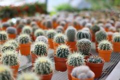Pequeños cactus en potes marrones Imagenes de archivo