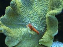 Pequeños cangrejos del Mar Rojo Imagen de archivo libre de regalías