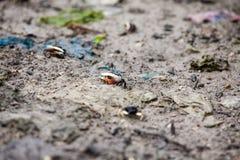 Pequeños cangrejos minúsculos funcionados con alrededor del abedul Fotos de archivo libres de regalías