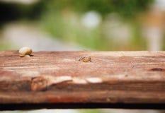 Pequeños caracoles en un tablero de madera Foto de archivo