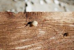 Pequeños caracoles en un tablero de madera Foto de archivo libre de regalías
