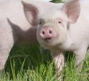 Pequeños cerdos Foto de archivo