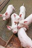 Pequeños cerdos Fotos de archivo