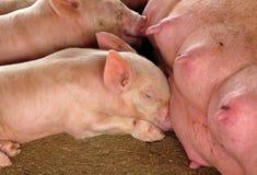 Pequeños cerdos Fotos de archivo libres de regalías