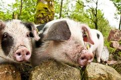 Pequeños cerdos Foto de archivo libre de regalías