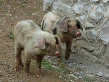 Pequeños cerdos Imágenes de archivo libres de regalías