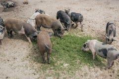 Pequeños cerdos blancos y negros que comen la hierba verde en la arena Foto de archivo libre de regalías