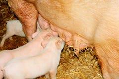 Pequeños cerdos del bebé en hora de la comida imagenes de archivo