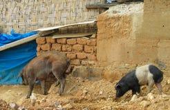 Pequeños cerdos en granja Foto de archivo libre de regalías