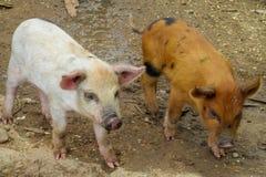 Pequeños cerdos en granja Imagen de archivo libre de regalías